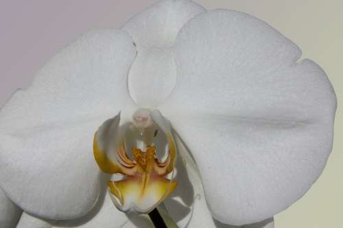 Orchid White Flower Blossom Bloom Flora Nature