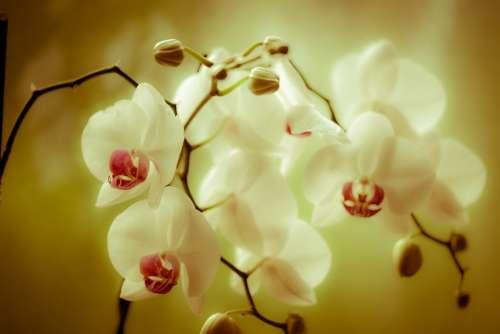 Orchid Phaleonopsis Blossom Bloom