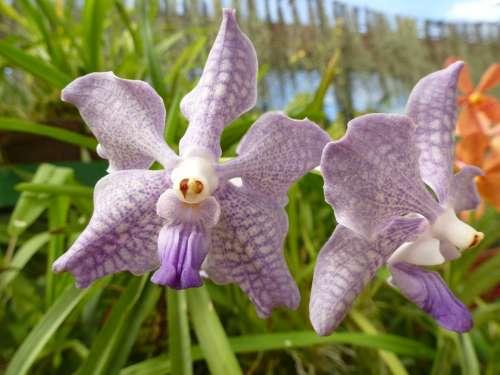 Orchid Purple Plant Flower Sri Lanka