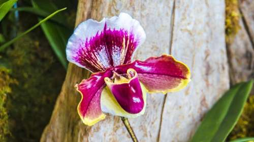 Orchid Ladie'S Slipper Tropical Vibrant