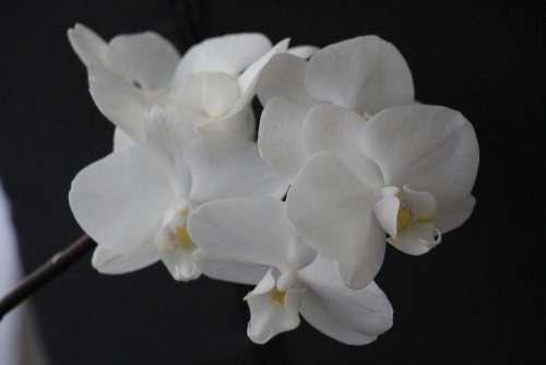 Orchid White Blossom Bloom Flower Plant Flowers
