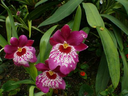 Orchid Greenhouse Flower Blossom Bloom Plant