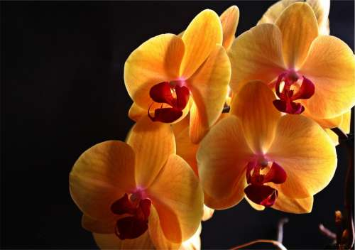 Orchid Flowers Plant Yellow Inflorescence Flower