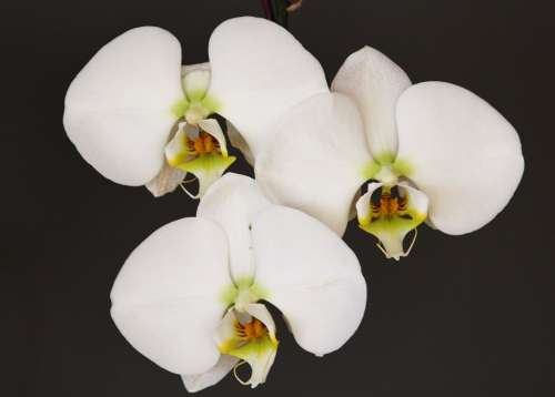 Orchid White Flower Blossom Bloom Plant Close Up