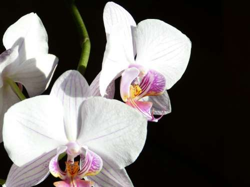 Orchid Butterfly Orchid Phalaenopsis Pink Flower