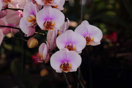 Orchids Flower Pretty Pink