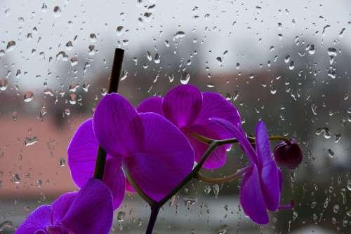 Orchis Violet Flower Drops Pane