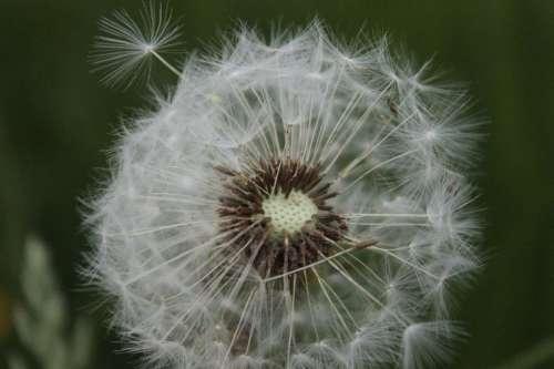 Ordinary Dandelion Pointed Flower Dandelion Leaf