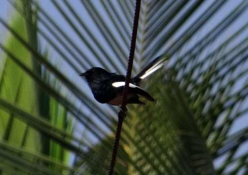 Oriental Magpie-Robin Robin Copsychus Saularis Male