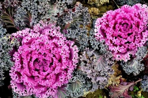 Ornamental Cabbage Cabbage Kale Winter Garden Food