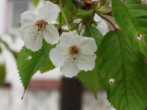 Ornamental Cherry Flowers White Close Up Spring