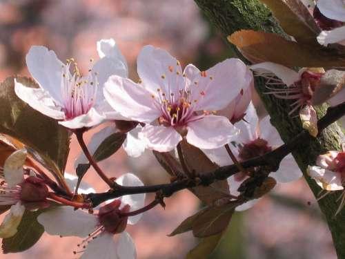 Ornamental Cherry Blossom Tree Nature