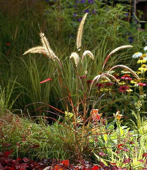 Ornamental Grass Plants Nature Autumn Flowers