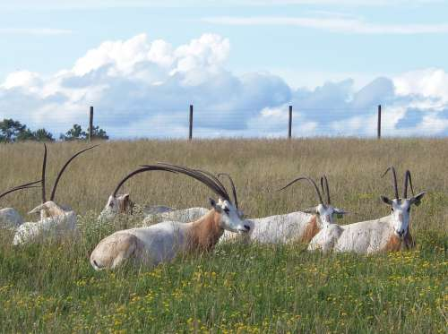 Oryx Scimitar-Horned Oryx The Wilds Endangered