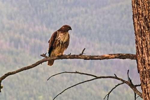 Osprey Branch Bird Raptor Wild Life Nature