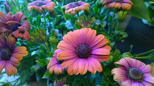 Osterspermum Bloom Flower Orange Blushing Close-Up