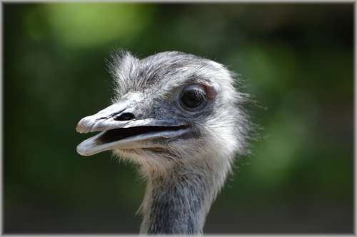 Ostrich Animal Nature Runner Artis Zoo Portrait