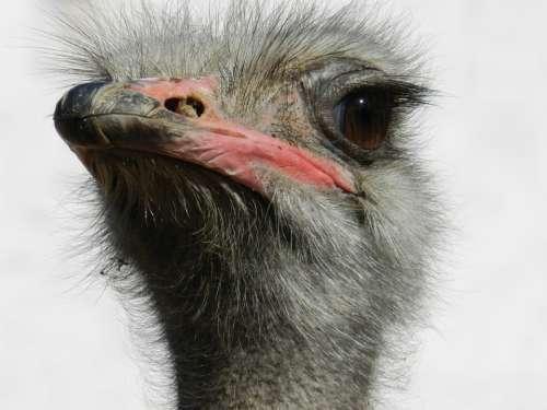 Ostrich South Africa Ostriches Fast