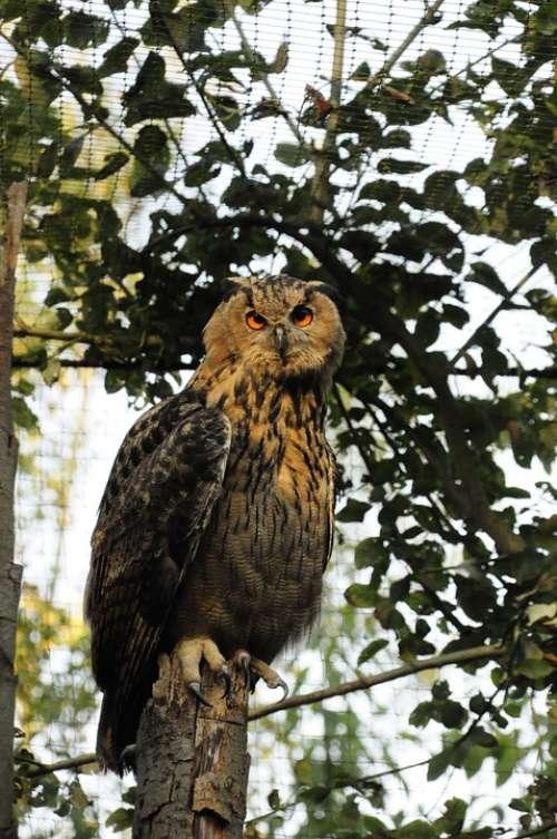Owl Eurasian Eagle Owl Zoo Night Active