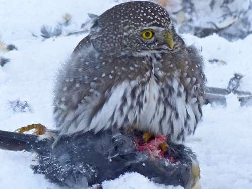 Owl Young Animal Bird Bird Of Prey Wildlife
