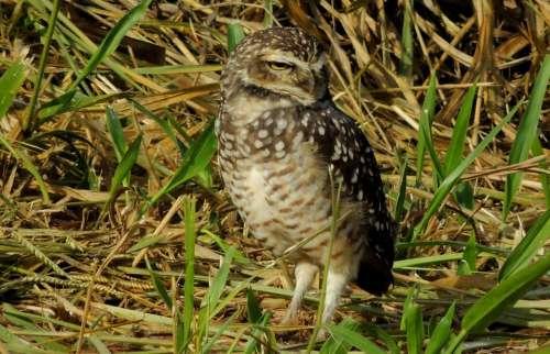 Owl Ground Birds Bird Watching Bird Of Prey