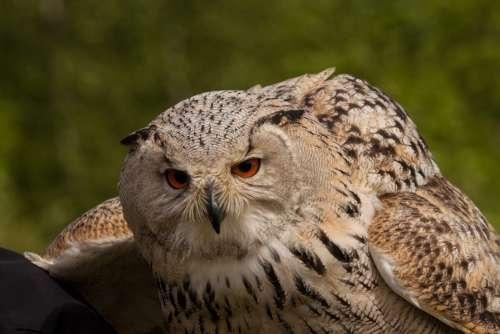 Owl Eagle Owl Eyes Night Active Bird