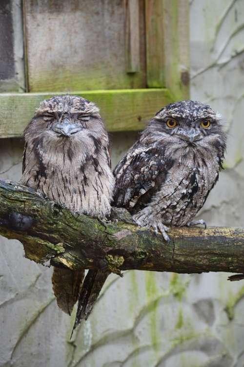 Owl Tawny Frogmouth Owl Australia Bird Pair Grey