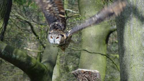 Owl Eagle Owl Forest Night Bird Forests Feather