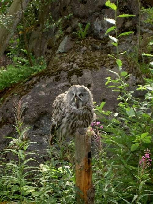 Owl Nature Wildlife Skansen Sweden Animal