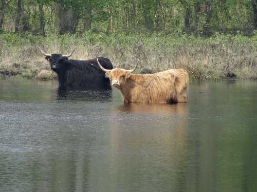 Oxen Cows Grazer Bovine Species Mammal Ven Pool