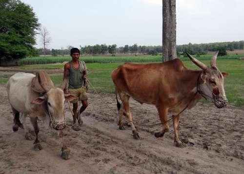 Oxen Unyoked Gagged Farmer Countryside Karnataka