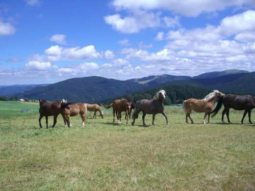 Paddock Horse Flock Pasture Grass Mountains
