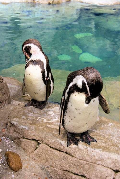 Pair Bowing Penguin Tuxedo Bird Black And White