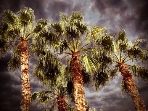 Palm Palm Tree Desert Nature Leaves Natural Plant
