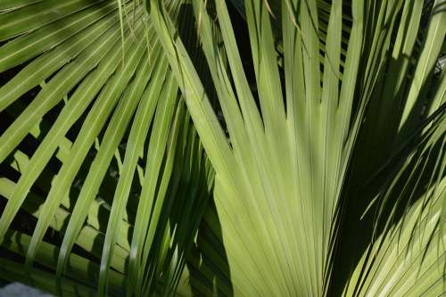 Palm Leaves Tree Tropical Botany Garden