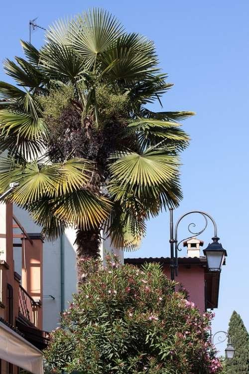 Palm Arecaceae Fan Palm Plant Flora Botany
