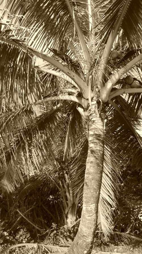 Palm Coconut Husk Bark Leaves Trunk Foliage