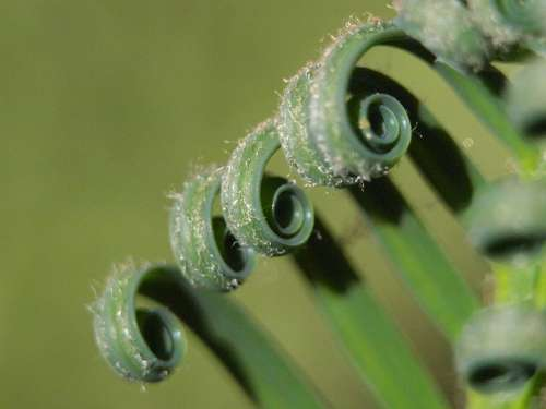 Palm Fern Rolled Leaves Green