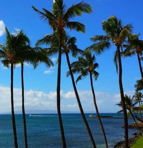 Palm Tropical Paradise Maui Hawaii Island Nature