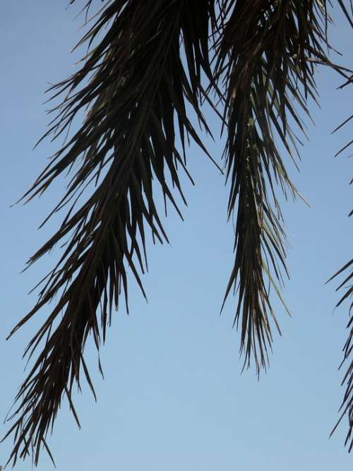 Palm Fronds Palm Sky Detail Silhouette Leaves