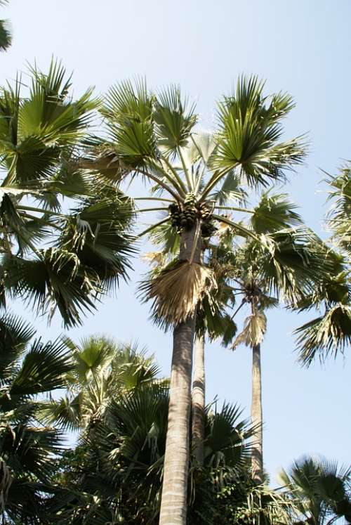Palm Tree Tropical Gambia Holiday