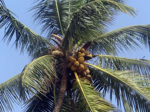 Palm Tree Palm Leaves Coconut Palm Cocos Nucifera