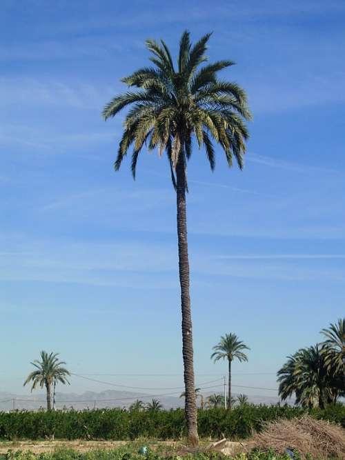 Palm Tree Field Elche