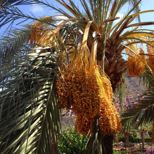 Palms Dates Palm Tree Natural Plant Palm Summer