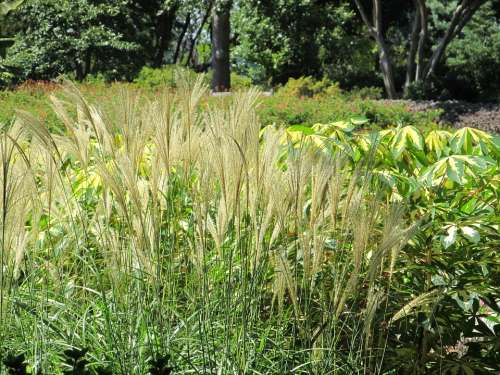 Pampas Feather Reed Grass Tall Plant Botanical
