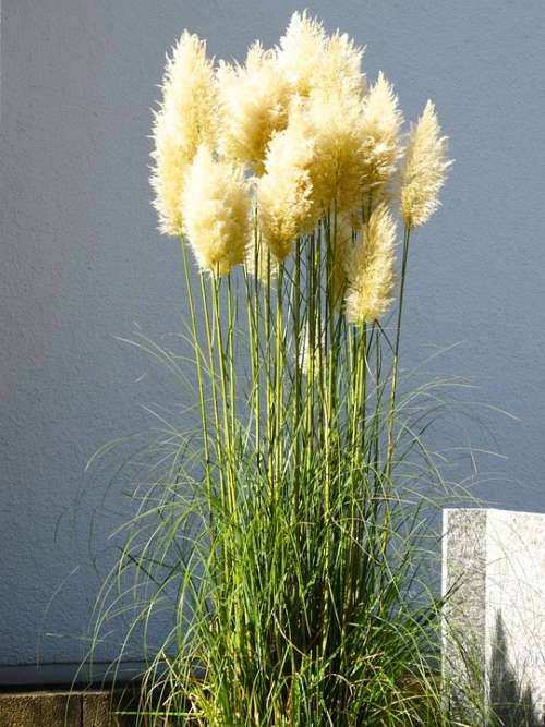 Pampas Grass Grass Fluffy Airy Nature Plant