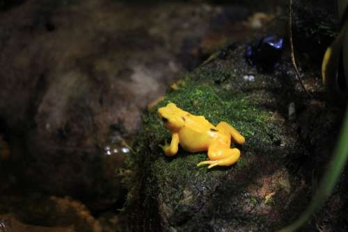 Panamanian Golen Frog Frog Yellow Poisonous Animals