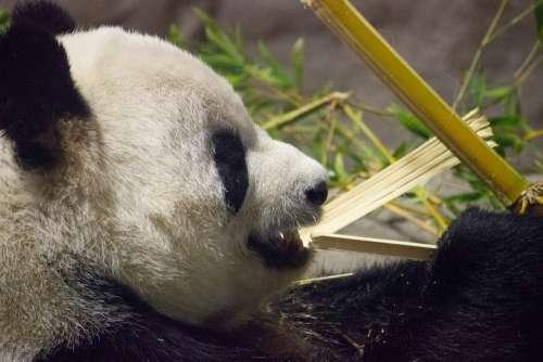 Panda Bear Zoo Animal Cute Teddy