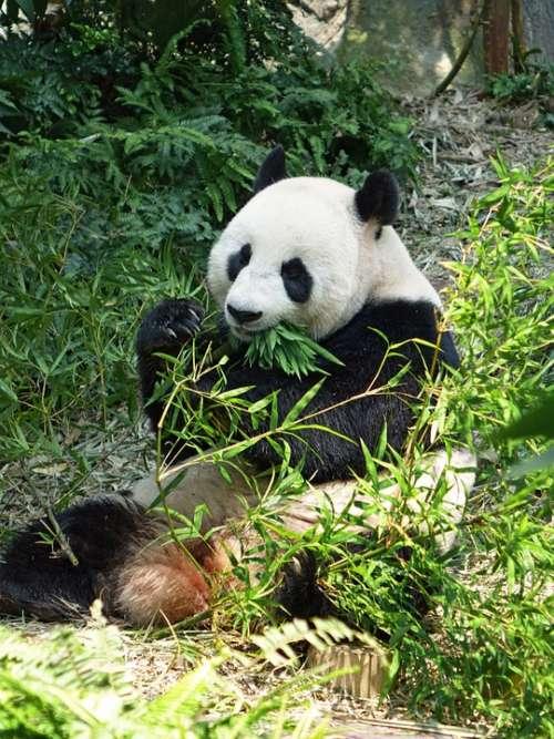 Panda Endangered Rare Protected Bamboo