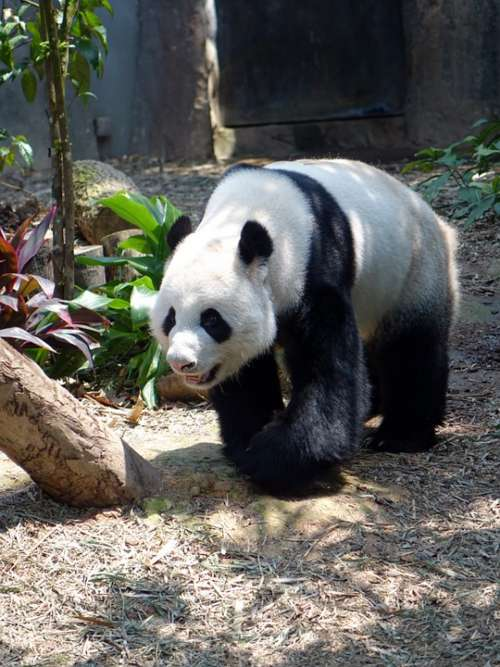 Panda Animal Endangered Rare Protected Bamboo